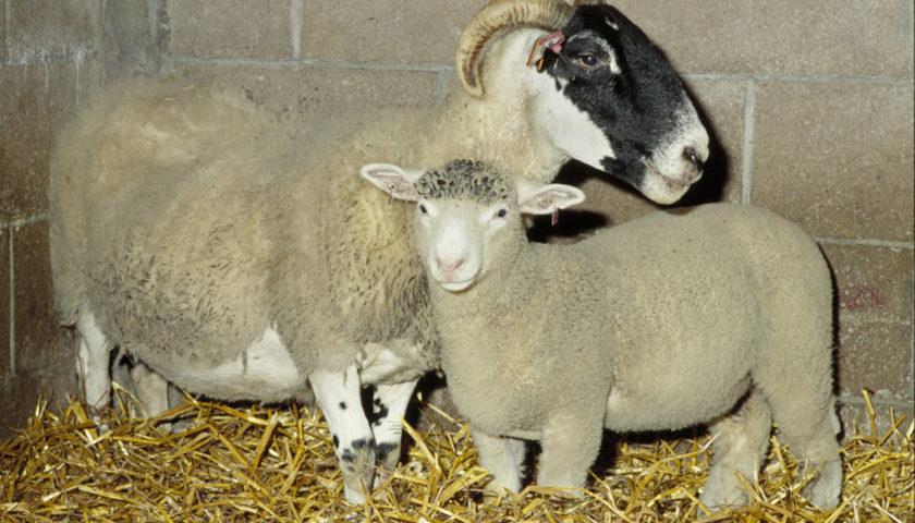 Вівця Доллі з сурогатною матірю