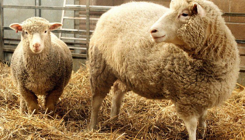 Як була створена вівця Доллі?