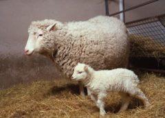 Вівця Доллі - чи була вона першою, етичні проблеми клонування
